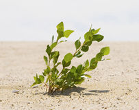 Green plant growing trough sand Royalty Free Stock Photography