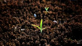 The Green Plant is Growing Up From the Soil. The nature of plant growth Stock Images
