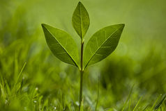 A green plant grows in grass Stock Photography