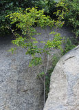 A green  plant grows from  inside  of rocks Royalty Free Stock Photography
