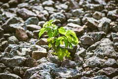 Green plant grows from under the stones Royalty Free Stock Image
