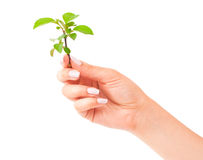 Green plant in the hand Royalty Free Stock Photography