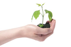Green plant in hand Royalty Free Stock Photo