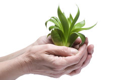 Green plant on hand close up Stock Photos