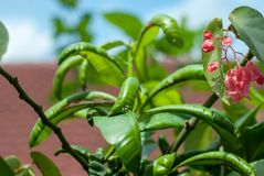 A green plant that has disease showing out by having contort or Royalty Free Stock Photo