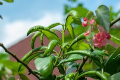 A green plant that has disease showing out by having contort or Stock Photo