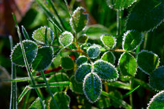 Green plant with hoarfrost Royalty Free Stock Photos