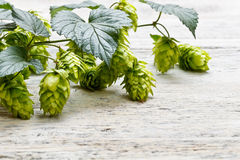 Green plant hops Royalty Free Stock Images