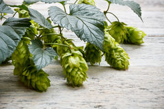 Green plant hops Royalty Free Stock Image