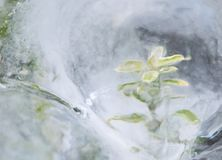 Green plant in ice Royalty Free Stock Images
