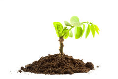 Green Plant In Soil Royalty Free Stock Photos