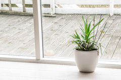 Green plant in an indoor pot Royalty Free Stock Image