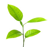 Green plant isolated over white Royalty Free Stock Photography