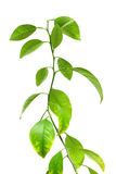 Green plant isolated over white Royalty Free Stock Photo