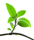 Green plant isolated over white Stock Photo