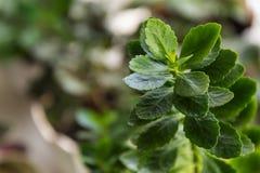 Green plant Kalanchoe Stock Photo