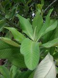 Green plant. With a large leaf colourfull narural Stock Image