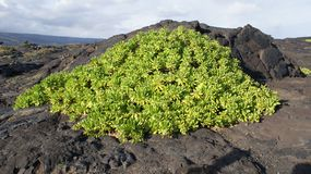Green plant lava on Maui, Hawaii`s, Mount Haleakalā. Royalty Free Stock Photos
