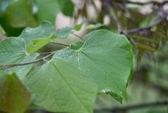 Green Plant Leaf with Moisture and Dew. A green leafy plant with moisture or dew on it grows wild in a fertile green garden stock photo