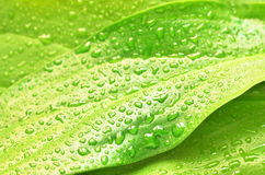 Green plant leaf after rain. Green plant leaf with water drops after rain, nature background Royalty Free Stock Photography