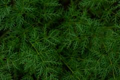 Green Plant Leaf Texture pine needle background stock images