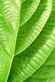 Green plant leave, detail Royalty Free Stock Images