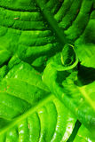 Green plant leaves. Abstract background of green plant leaves in the historic butchart gardens (over 100 years in bloom), vancouver island, british columbia Stock Image