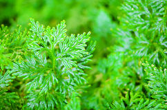 Green plant leaves  . Green plant leaves Royalty Free Stock Photo