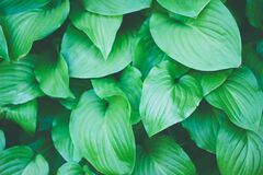 Green Plant Leaves Background Texture Royalty Free Stock Image