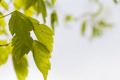 Green plant leaves on a bright blurred sky Royalty Free Stock Photography