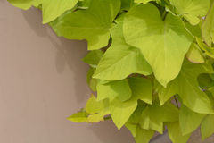Green plant leaves. Cascading down side of large ceramic pot Royalty Free Stock Photography