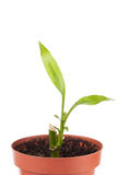 Green plant with leaves in flowerpot Royalty Free Stock Photography