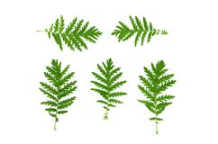 Green plant leaves. Green plant leaf isolated on white background Royalty Free Stock Image