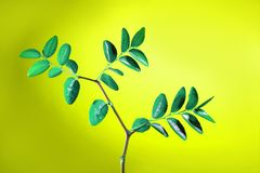 Green plant with leaves studio shot. Over vivid yellow background Royalty Free Stock Images