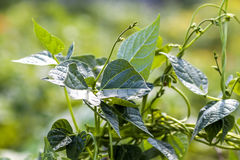 Green plant leaves in summer sunlight close-up.  Royalty Free Stock Images