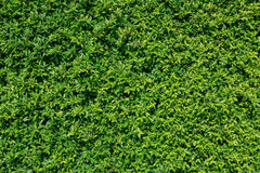 Green plant leaves texture. Background Royalty Free Stock Image