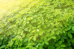 Green plant leaves Royalty Free Stock Photography