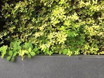 Green Plant Leaves Wall Background royalty free stock photography