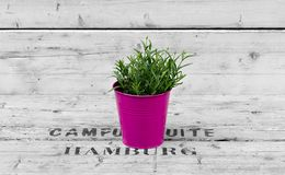 Green plant in  a lilac pot Royalty Free Stock Photos