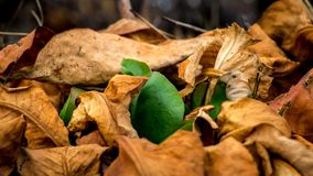 Green plant makes the way through the fallen, dead leaves. Royalty Free Stock Photos
