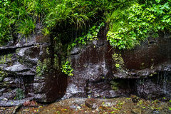 Green plant, moss and lichen on rock wall with small waterfall d Stock Photos