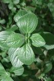 Green plant named Boldo da Terra Royalty Free Stock Images