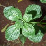 Green plant named Boldo da Terra Royalty Free Stock Photo