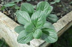 Green plant named Boldo da Terra planted in a vase Royalty Free Stock Photos