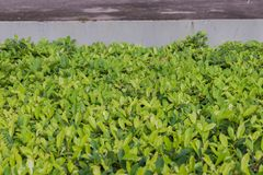 Green plant near the building. At thailand Royalty Free Stock Image