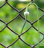 Green plant near a chain link fence.  Royalty Free Stock Images