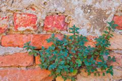 Green plant on old red bricks wall Royalty Free Stock Images