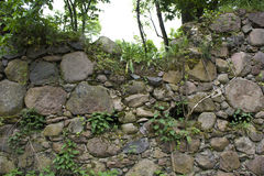 Green plant on Old stone wall close-up Stock Images
