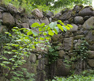 Green plant on Old stone wall close-up Stock Image