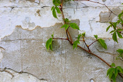 Green plant on old wall backround Royalty Free Stock Photos